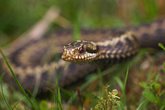 Adder Royalty Free Stock Image