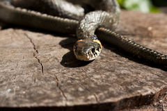 The adder Royalty Free Stock Photos