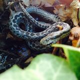 adder Stock Fotografie