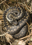 Adder Stock Image