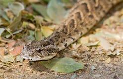 adder arietans bitis ptysiowy Zdjęcie Royalty Free