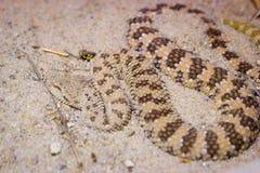 Adder in een zand Stock Fotografie