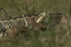 Adder on the Heath Royalty Free Stock Photo
