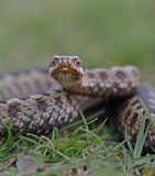 Adder Stock Images