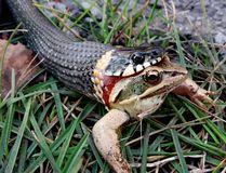 Young snake trying to swallow a frog while hunting Royalty Free Stock Images
