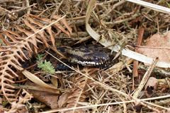 An Adder in old bracken. An Adder in old bracken in the early spring morning stock images
