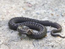 Adder ready Royalty Free Stock Photography