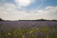 Adder ` s Bugloss Royalty-vrije Stock Foto
