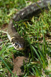 Adder snake Stock Photos