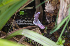 Adder Snake Mouth Open Royalty Free Stock Photography