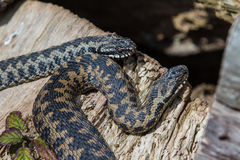 2 Adder Snakes Royalty Free Stock Photo