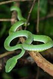 Adder van het close-up de wilde Bamboe Stock Foto