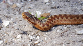 Adder. The Adder or Northern Viper is one of the UKs three snakes, and the only one that is poisonous Stock Image