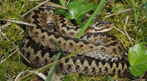 Adder Stock Photo