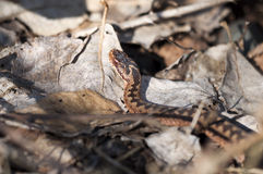 Adder - Vipera berus Stock Photography