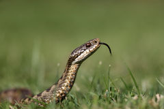 Adder, Vipera berus Royalty Free Stock Images