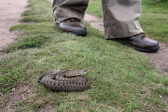 Adder, Vipera berus Stock Photography