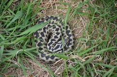 Adder (Vipera berus) Stock Images