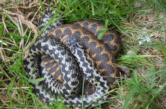 Adder (Vipera berus) Royalty Free Stock Images