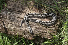 Adder, Vipera berus Royalty Free Stock Photography