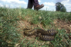 Adder, Vipera berus, Royalty Free Stock Photos
