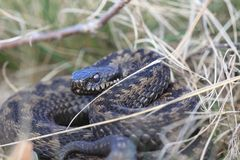 Adder warming up in the morning Royalty Free Stock Images