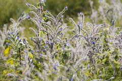 Adders Bugloss Stock Foto's
