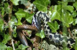 Adders fighting Royalty Free Stock Photo
