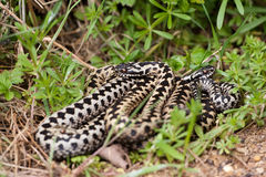 Adders in the grass. Adders coiled together in the grass Stock Photo