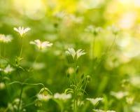 Addersmeat Blumen Lizenzfreies Stockbild