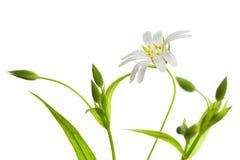 Addersmeat, Stellaria holostea. Addersmeat on a white background Royalty Free Stock Photo