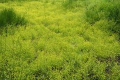 Adderstongue Spearwort Stock Photo
