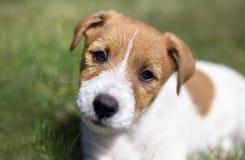 Addestramento del cucciolo - cane di animale domestico felice del terrier di russell della presa fotografia stock
