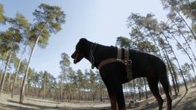 Addestramento del doberman nel legno, saltante sulle tavole stock footage