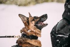 Addestramento del lupo di razza di alsaziano di Young Dog Or del pastore tedesco Immagini Stock