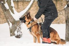 Addestramento dell'alsaziano di razza Wolf Dog di Young Dog Or del pastore tedesco Immagine Stock Libera da Diritti