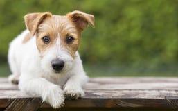 Addestramento dell'animale domestico - sguardo felice astuto del cucciolo del cane di russell della presa immagini stock