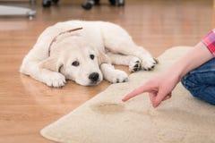 Addestramento della Camera del cucciolo colpevole Immagine Stock