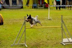 Addestramento di agilità Fotografia Stock Libera da Diritti