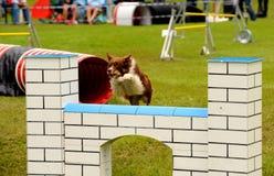 Addestramento di agilità Fotografia Stock