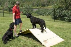 Addestramento di agilità - cani di acqua portoghesi Immagini Stock Libere da Diritti