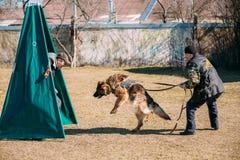 Addestramento di cani del pastore tedesco Cane mordace Fotografia Stock
