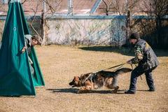 Addestramento di cani del pastore tedesco Cane mordace Fotografie Stock