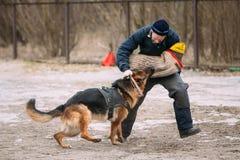 Addestramento di cani del pastore tedesco Cane mordace Wolf Dog alsaziano Deu Fotografia Stock
