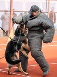 Addestramento di cani del pastore tedesco Cane mordace Wolf Dog alsaziano Deu Immagini Stock Libere da Diritti