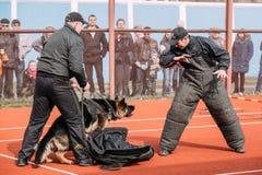 Addestramento di cani del pastore tedesco Cane mordace Wolf Dog alsaziano Deu Immagine Stock