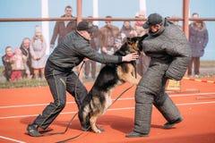Addestramento di cani del pastore tedesco Cane mordace Wolf Dog alsaziano Deu Fotografie Stock Libere da Diritti