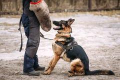 Addestramento di cani del pastore tedesco Wolf Dog alsaziano Deutscher, cane Immagini Stock Libere da Diritti