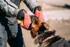 Addestramento di cani del pastore tedesco Wolf Dog alsaziano mordace Immagini Stock
