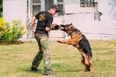 Addestramento di cani di Alsatian Wolf Dog del pastore tedesco Cane mordace Fotografie Stock Libere da Diritti